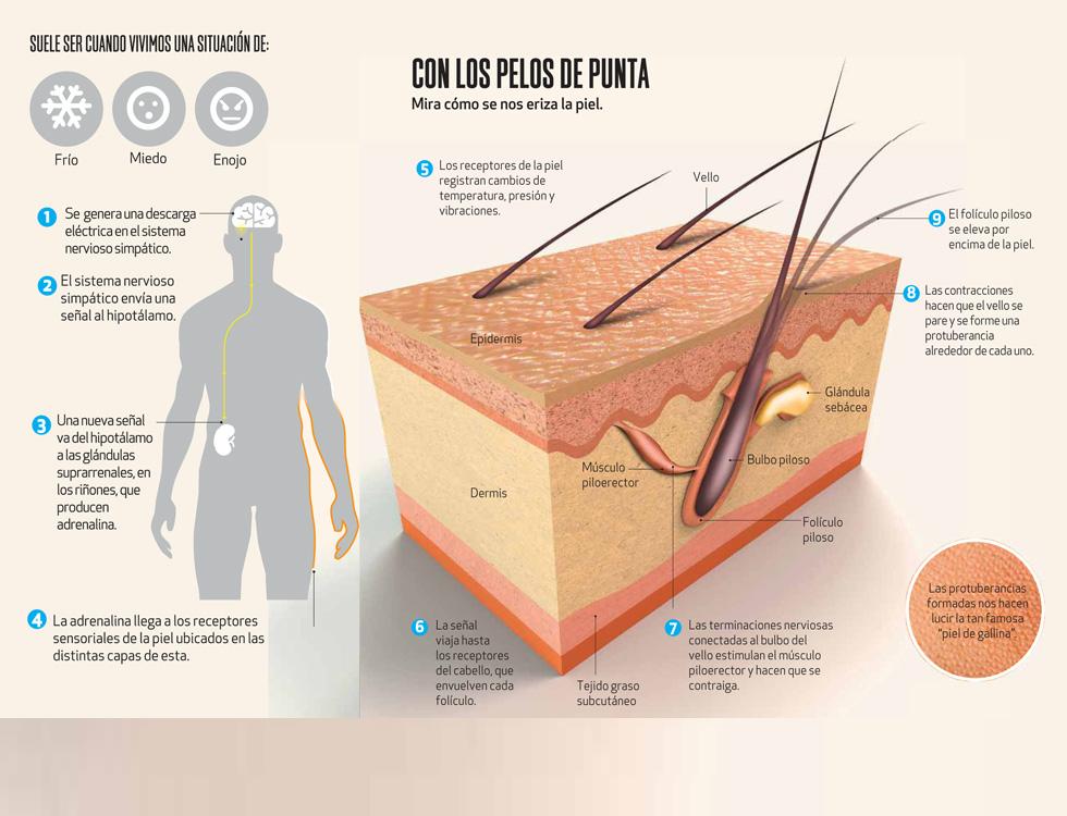 Sabes Por Qué Se Pone La Piel De Gallina Infografia Infographic Tics Y Formación